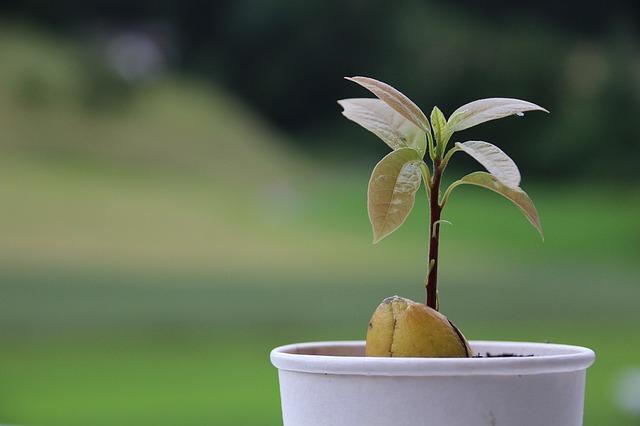 Rostlina Avokáda